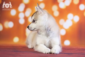 Klee Kai Puppies